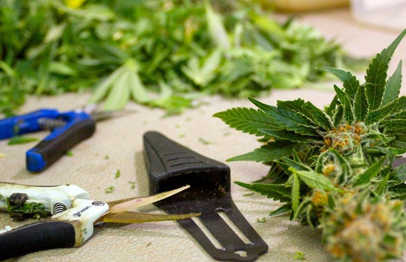 Wietplant oogsten, drogen, curen en bewaren